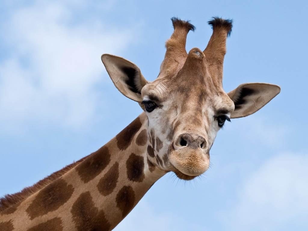 Resultado de imagem para girafa da um beijo